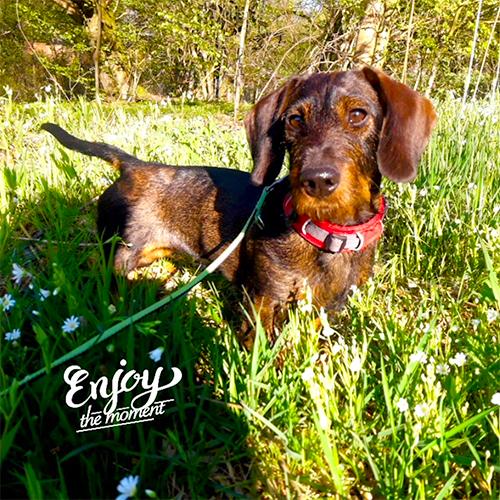 Tierarztpraxis Rosin - Hund Merle, Sauerbrey